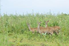 Três cervos no parque nacional de Baluran Imagem de Stock Royalty Free