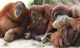 Três chimpanzés Fotografia de Stock