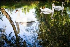 Três cisnes Imagens de Stock Royalty Free