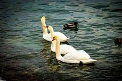 Três cisnes bonitas imagens de stock