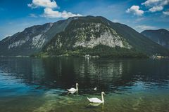 Três cisnes de Hallstatt do lago Fotos de Stock