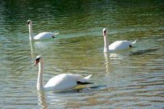 Três cisnes em um lago Foto de Stock