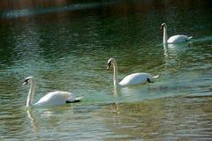 Três cisnes em um lago Fotos de Stock Royalty Free