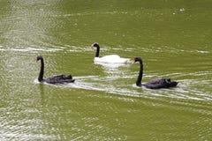 Três cisnes - jardim zoológico de Sao Paulo fotos de stock