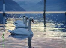 Três cisnes no porto imagens de stock royalty free