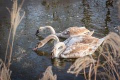 Três cisnes novas dos cisnes novos que alimentam na lagoa congelada A imagens de stock royalty free