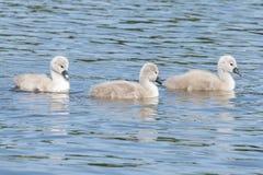 Três cisnes novos no lago boating na terra comum de Southampton foto de stock