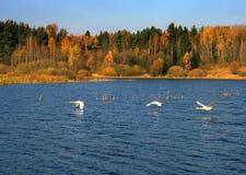 Três cisnes voam fotos de stock
