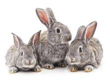 Três coelhos Fotos de Stock