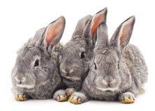 Três coelhos Fotografia de Stock