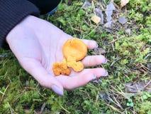 Três cogumelos alaranjados amarelos bonitos das primas encontram-se na mão de uma palma do ` s da mulher com tratamento de mãos b imagens de stock royalty free