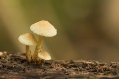 Três cogumelos amarelos Fotografia de Stock Royalty Free