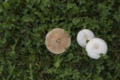 Três cogumelos brancos na grama verde Fotos de Stock Royalty Free