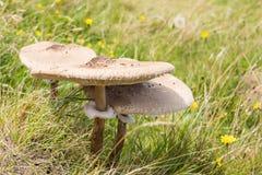 Três cogumelos de parasol no campo Fotografia de Stock Royalty Free