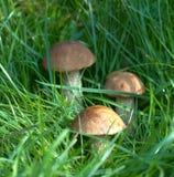Três cogumelos do álamo tremedor em uma grama Foto de Stock Royalty Free
