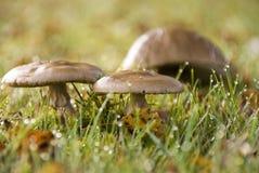 Três cogumelos no orvalho da manhã Fotos de Stock Royalty Free