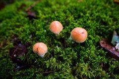 Três cogumelos pequenos Imagem de Stock Royalty Free