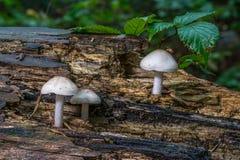 Três cogumelos venenosos brancos em um log imagem de stock