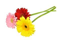 Três coloriram flores do gerbera no amarelo, no rosa e no vermelho Foto de Stock