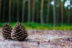 Três cones na terra nas madeiras fotografia de stock