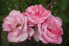 Três cor-de-rosa e quadris cor-de-rosa brancos, contra um fundo das folhas verdes Fotos de Stock