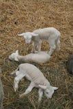 Três cordeiros pequenos Foto de Stock