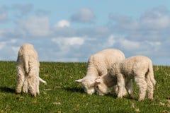 Três cordeiros pequenos que pastam Fotografia de Stock Royalty Free
