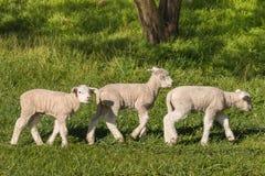 Três cordeiros pequenos que pastam no prado Fotografia de Stock Royalty Free