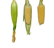 Três corn-cobs fotos de stock royalty free