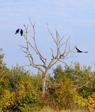 Três corvos Imagens de Stock Royalty Free