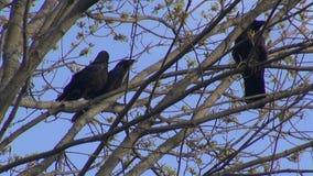 Três corvos comuns pretos novos na árvore video estoque