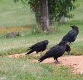 Três corvos pretos Imagens de Stock Royalty Free