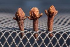 Três cravos-da-índia (aromaticum do Syzygium) Imagem de Stock