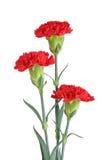 Três cravos vermelhos Foto de Stock Royalty Free