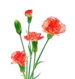 Três cravos vermelhos Fotografia de Stock Royalty Free