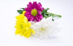 Três crisântemos picam e amarelam e macrophoto ascendente próximo das flores do macro do branco foto de stock royalty free