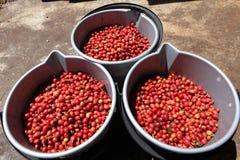 Três cubetas completamente de feijões de café vermelhos maduros Fotografia de Stock Royalty Free