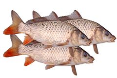 Três do isolado dos peixes da carpa crucian Fotografia de Stock Royalty Free