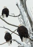 Três Eagles calvo Imagens de Stock Royalty Free