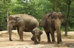 Três elefantes asiáticos foto de stock royalty free