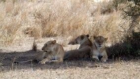 Três enrijeceram a leoa fotos de stock