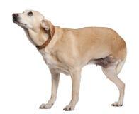 Três equipados com pernas misturado-produzem o cão, 11 anos velho Imagem de Stock
