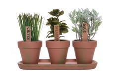 Três ervas Fotos de Stock Royalty Free