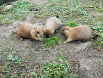 Três esquilos à terra árticos na natureza Imagens de Stock Royalty Free