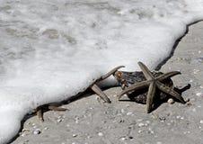 Três estrelas de mar (estrela do mar) Fotografia de Stock Royalty Free