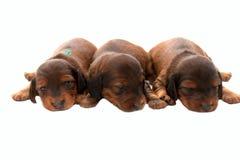 Três filhotes de cachorro Imagem de Stock Royalty Free