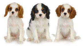 Três filhotes de cachorro Fotos de Stock Royalty Free
