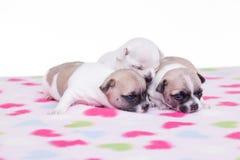 Três filhotes de cachorro. Foto de Stock