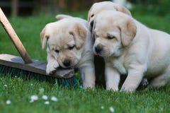 Três filhotes de cachorro bonitos Fotografia de Stock