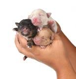 Três filhotes de cachorro bonitos do bebê que estão sendo realizados nas mãos humanas Fotos de Stock Royalty Free